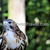 Red Tailed Hawk. One of the most common hawks in America, the Red Tailed Hawk can frequently be observed in suburban locations perched on telephone or light poles. They are frequently observed soaring on thermals. It is a larger hawk, measuring 18 to 26 inches in length, with a wingspan from 43 to 57 inches.