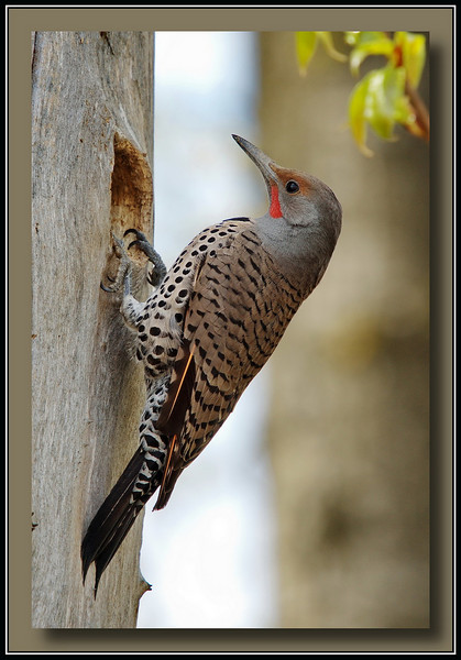 "Northern ""Red Shafted"" Flicker  @ Annacis Island (w/ Sigma 50-500 Bigma)<br /> I watched him for about 20 minutes - looks like he is working on the nest entry."