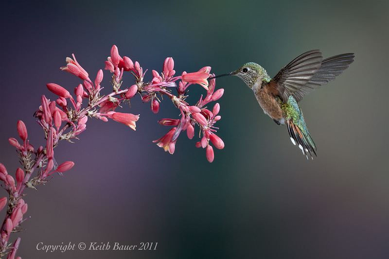Female Broad Tailed Hummingbird - Sippin' from the Yucca
