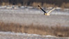 short eared owl hunting over the snow-7969