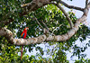 Scarlet macaw (<i>Ara macao</i>) Bahuaja-sonene National Park, Amazon, Peru