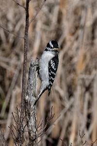 Downy Woodpecker - Dryobates pubescens, female.
