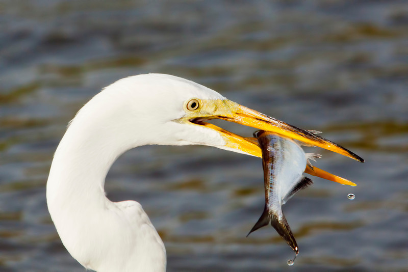 I was at the right place at the right time for this shot. I don't usually zoom in on the head but I was at the time white egret snagged this fish. Made my day.