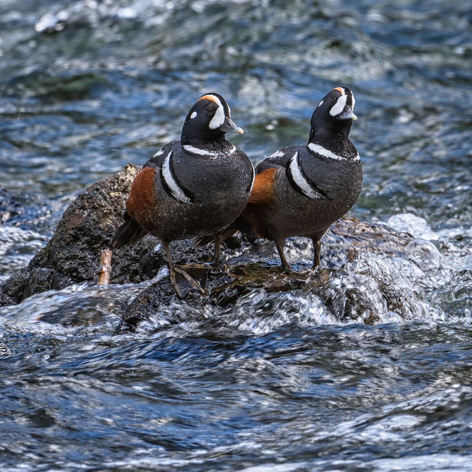 Harlequin Ducks   Yellowstone NP