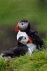 puffin coupleDSC_1132