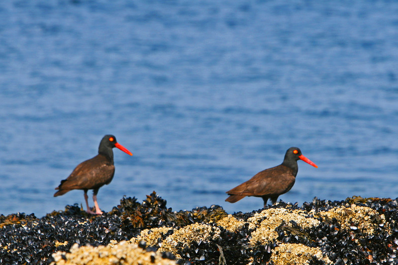 Oystercatchers on Mussel Beds at low tide.
