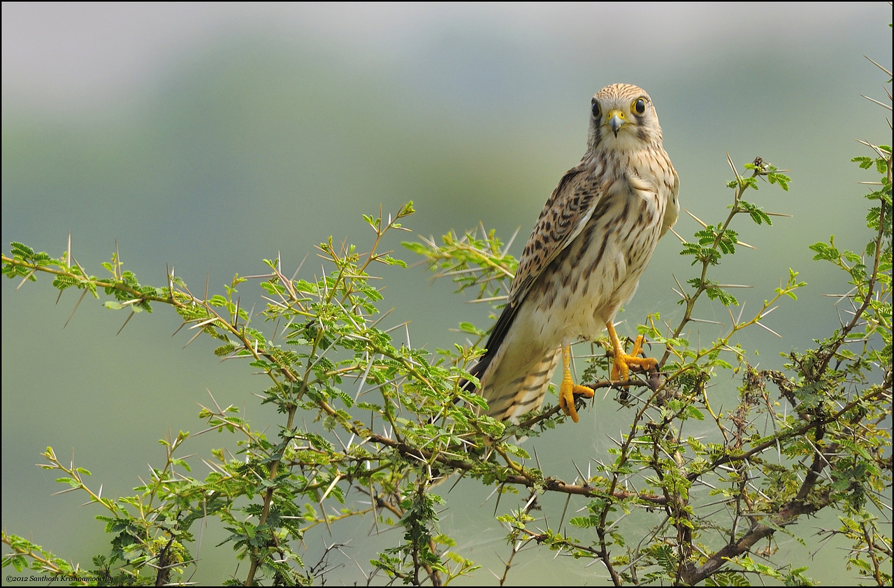 Kestrel...., I just love this bird...!!... ( Common Kestrel )
