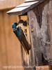 Tree Swallow Feeding Baby