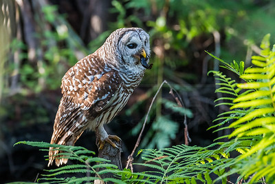 Barred Owl with Crawfish
