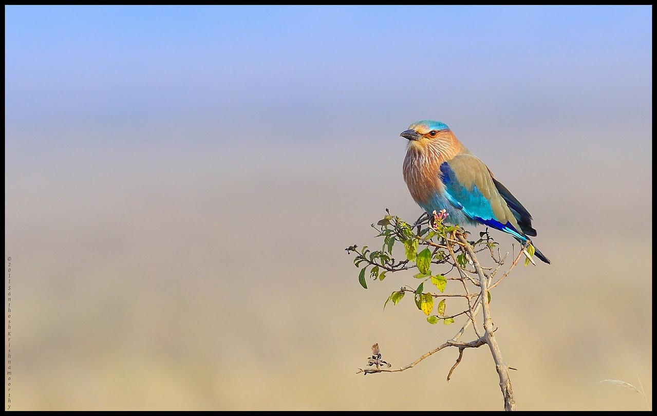 Indian Roller....the state bird of Karnataka....