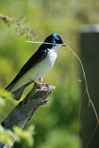 A tree swallow pauses before taking a piece of grass over to its nest.  Jamaica Bay, NY