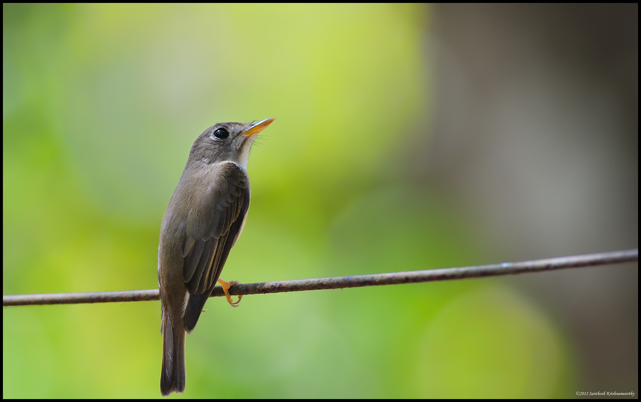 Brown breasted fly catcher....