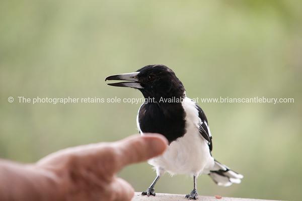 Feeding a pied butcher bird.