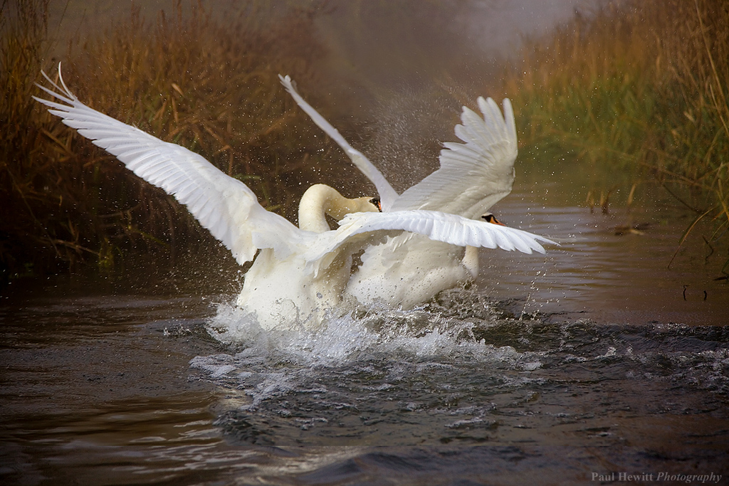 Swans Fighting