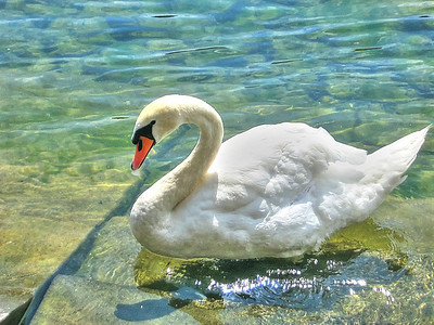 Swan of Germany - Photo by W Davis