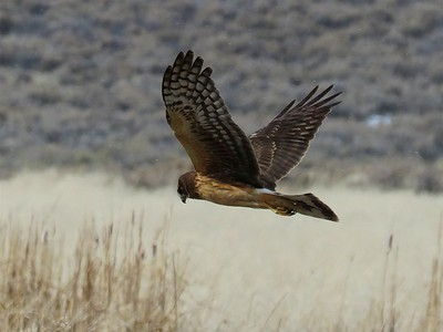 Northern Harrier at the Swan Lake Nature Study Area