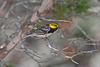 Golden-cheeked Warbler (Dendroica chrysoparia)