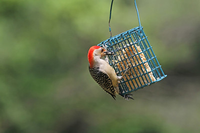 A red-bellied woodpecker feeding at a wire bird feeder
