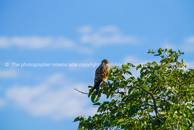 Greater kestrel perched in tree