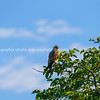 Greater kestrel perched in tree