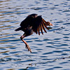 Purple Swamphen<br /> <br /> Taking off...<br /> <br /> Captured with Canon EOS 6D+Canon 70-300mm f/4-5.6 Zoom Lens (non L) IS USM, ISO 1000, 1/1600sec, FL 300mm, F/8, processed using PS-cs5, image has been cropped.