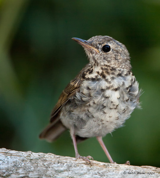 Young Hermit Thrush