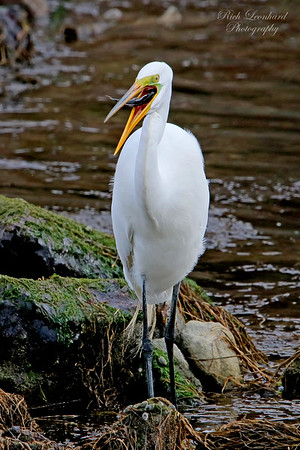 Great Egret eating a fish at Sunken Meadow State Park, NY.