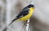 Lesser Goldfinch (male) - Spinus psaltria