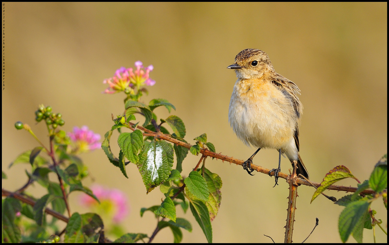 A cute little feather ball  | Common Stone Chat (Female)......