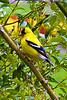 Gold finch, Washington