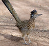 Road Runner at the Living Desert, Carlsbad NM