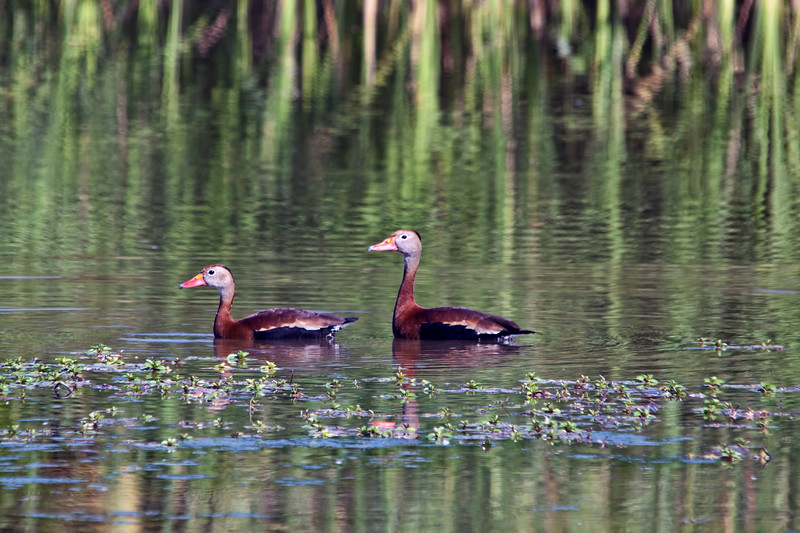 Black-bellied whistling ducks in South Texas