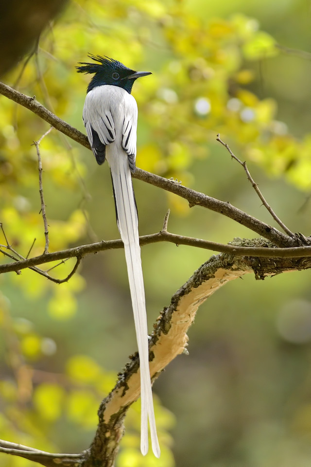 Asian Paradise Flycatcher ( male )