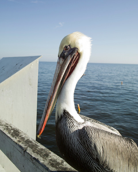 A close-up view of a California brown pelican (pelecanus occidentalis) on the pier in Santa Cruz.