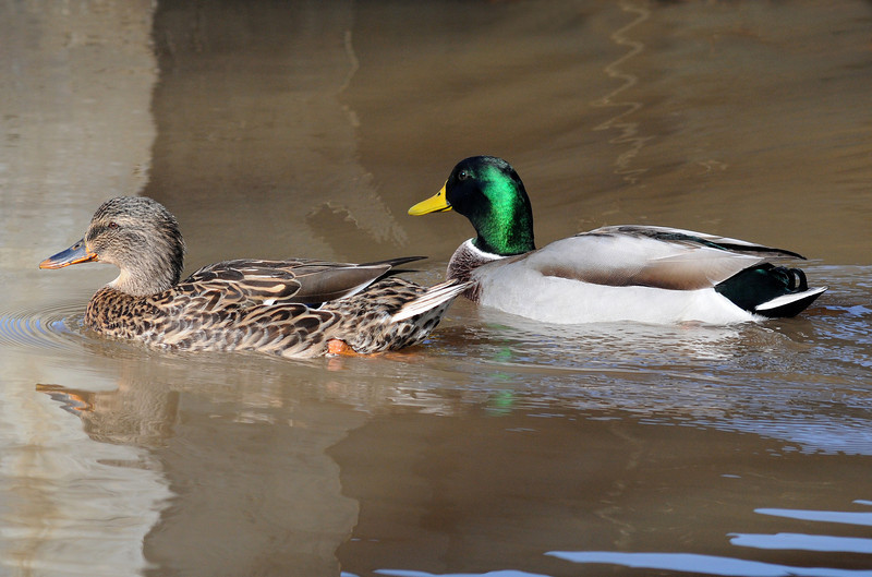 Mallard, Male and Female