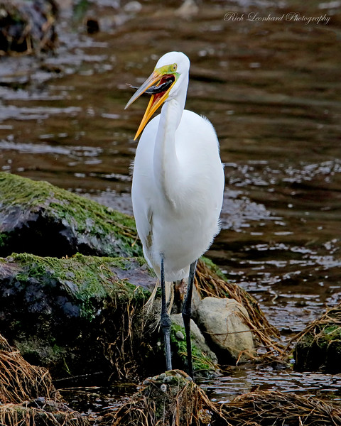 Great Egret eating a fish at Sunken Meadow State Park,NY.