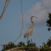 Blue Heron in Tree