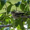 Mocking bird in hiding.