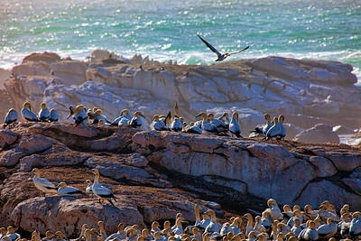 Cape Gannets, Lamberts Bay, Western Cape, South Africa