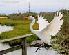Great Egret ready to land on handrail at The Oceanside Nature Marine Study Area.