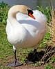 Pretty Swan at Heckscher Park in Huntington,NY.