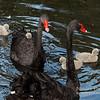 Black Swan Family