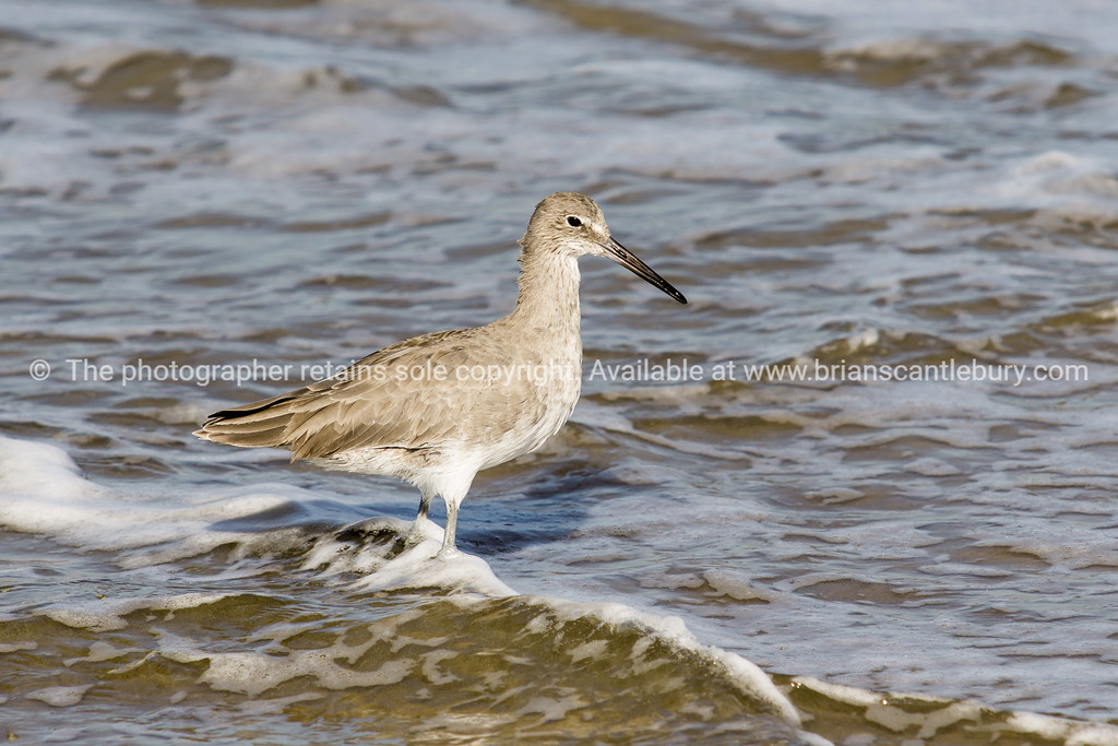 Willet at Manhattan Beach CA, USA