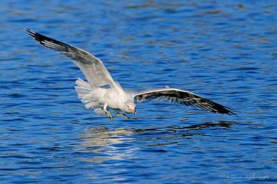 Seagull at Eisenhower Park,NY.