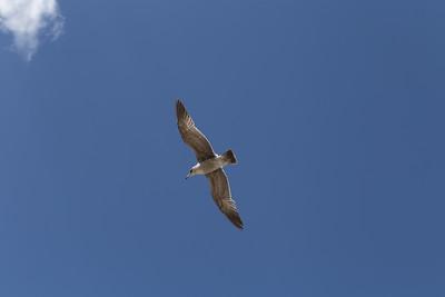 Tahoe Seagull