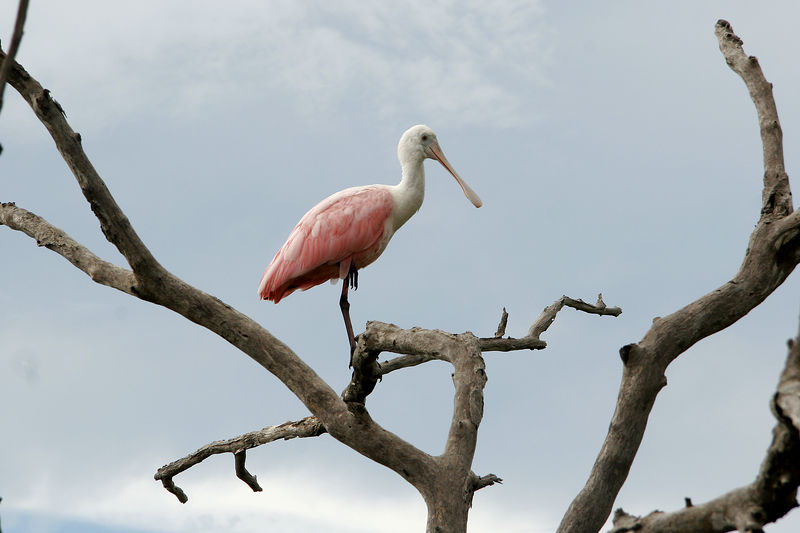 Roseate Spoonbill, New Smyrna Beach, FL