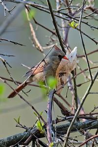 Northern Cardinal - Cardinalis cardinalis, female.