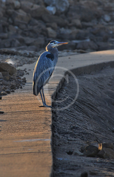 Great Blue Heron in morning sunlight