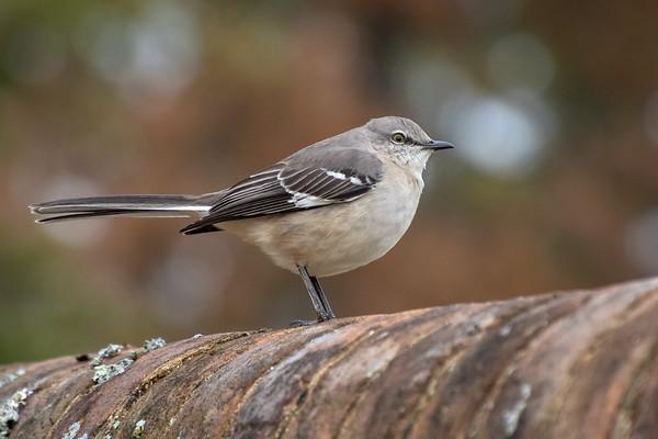 northern mockingbird behind the palace -7512