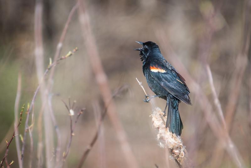 Red-winged Blackbird, Lake Towhee - April 2013
